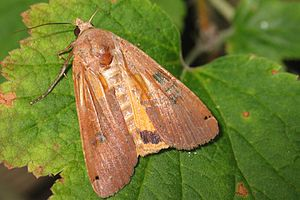 Large yellow underwing - Image: Noctua pronuba 1