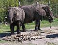 Norfolk Zoo Elephants 2.jpg
