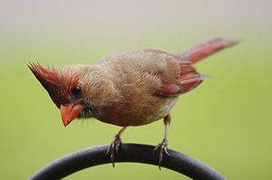 Northern Cardinal, Female.