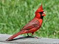 Northern Cardinal male RWD2.jpg
