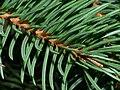 Norway Spruce needle stomata.jpg