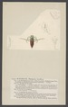 Notonecta - Print - Iconographia Zoologica - Special Collections University of Amsterdam - UBAINV0274 002 02 0063.tif