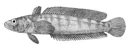Notothenia rossii