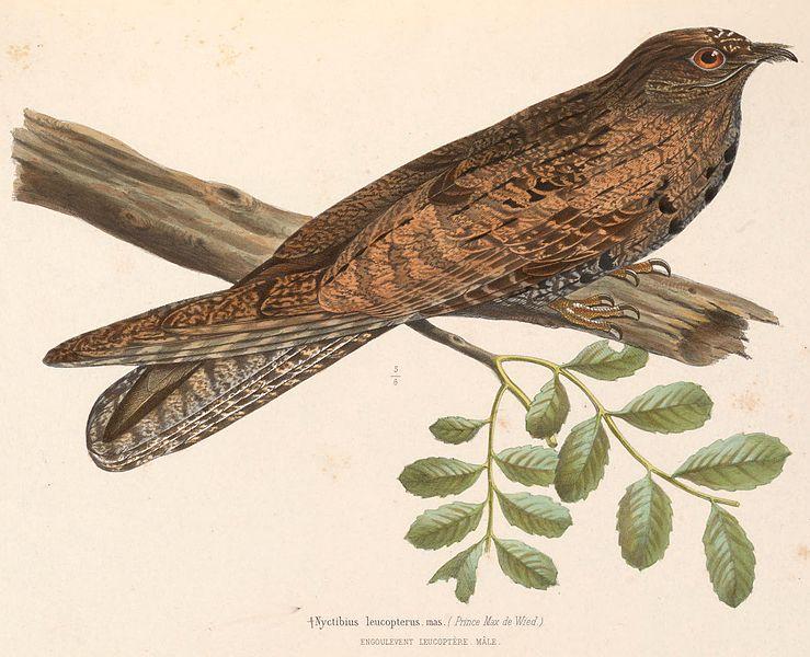 File:Nyctibius leucopterus male 1849.jpg