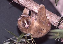 A Sunda slow loris climbs, upside down, along a tree branch