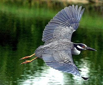Yellow-crowned night heron - Image: Nycticorax violaceus flying 8