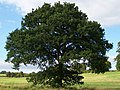 Oak (3907170063).jpg