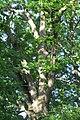 Oak 2016-05-29 022.jpg