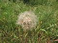 Odkvetlá rostlina (02).jpg