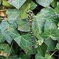 Odonata Cordulegaster boltonii.jpg