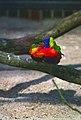 Oiseau Lori multicolors.jpg