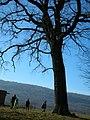 Old oak in Dobrovat, Romania - panoramio.jpg