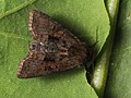 Oligia latruncula - Tawny marbled minor - Злаковая совка шашечная (41130576851).jpg
