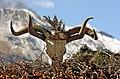 Om Mani Padme Hum (Yaks, Nepal).jpg