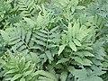 Onoclea sensibilis KS-01.jpg