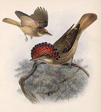 Onychorhynchus mexicanus 1902.jpg