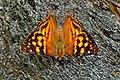 Open wing position of Dodona egeon Westwood, 1851 – Orange Punch WLB DSC 1057.jpg