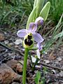 Ophrys tenthredinifera. Mahieddine Boumendjel.jpg