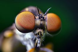 Close-up of the eyes of a small fly. Each eye looks like a ball composed of thousands of small units