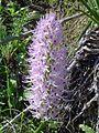 Orchidee in Kritou Terra (Cyprus 2004).JPG
