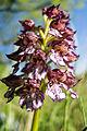 Orchis purpurea (14058265021).jpg