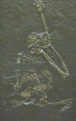 Oreopithecus bambolii.jpg