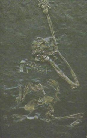 Description de l'image  Oreopithecus bambolii.jpg.