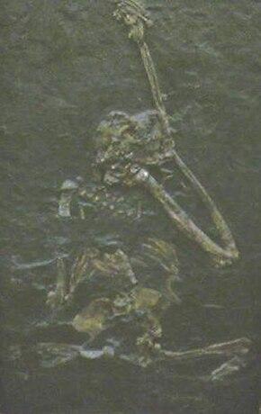 https://upload.wikimedia.org/wikipedia/commons/thumb/3/34/Oreopithecus_bambolii.jpg/290px-Oreopithecus_bambolii.jpg