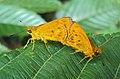 Oriens goloides - Smaller Dartlet Mating 05.JPG