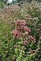 Origanum vulgare kz06.jpg