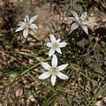 Ornithogalum umbellatum-Flowers-20150415.jpg
