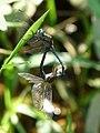 Orthetrum luzonicum mating in Kadavoor.jpg