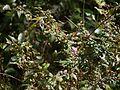 Osbeckia octandra (16011724137).jpg
