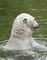 Oso polar (Ursus maritimus), Tierpark Hellabrunn, Múnich, Alemania, 2012-06-17, DD 05.JPG