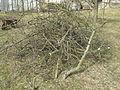 Ostříhané a ořezené dřevo z jabloní.jpg