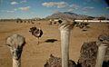 Ostrich Farm in AZ.jpg