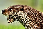 Otter - British Wildlife Centre (16646970163).jpg