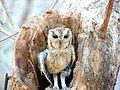Owl Ranthambore.jpg