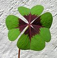Oxalis tetraphylla Iron Cross20100503 220.jpg
