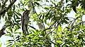 Pájaro Estaca Norteño - panoramio.jpg
