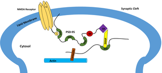PDZ domain - Basic functioning of PSD-95 in forming a complex between NMDA Receptor and Actin.
