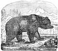 PSM V02 D152 Brown bear.jpg
