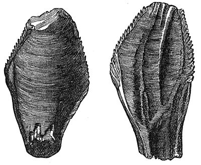 PSM V24 D366 Tooth of iguanodon.jpg