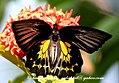 Pa Southern Birdwing 18 January 2008 V (2205552473).jpg
