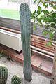 Pachycereus & Mexico (1) (11982995424).jpg