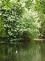 Padus avium (a pond) 02.JPG