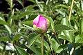Paeonia lactiflora Largo 0zz.jpg