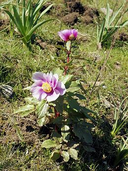 Paeonia mascula subsp. rusii 2