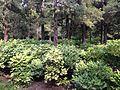 Paeonia suffruticosa in Jingshan Park 2.jpg