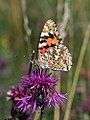 Painted Lady (20848439215).jpg